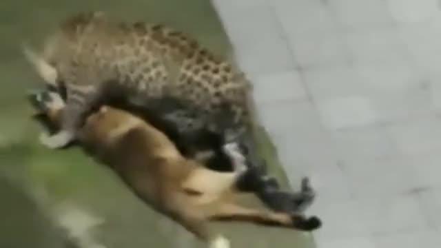 newsflare---leopard-kills-dog-at-himachal-pradesh-360p.mp4