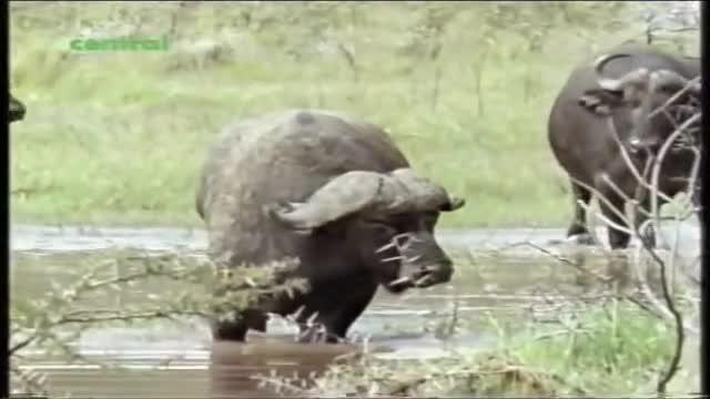 video-ca-gan-choc-gian-ha-ma-trau-rung-nhan-bai-hoc-nho-doi.mp4